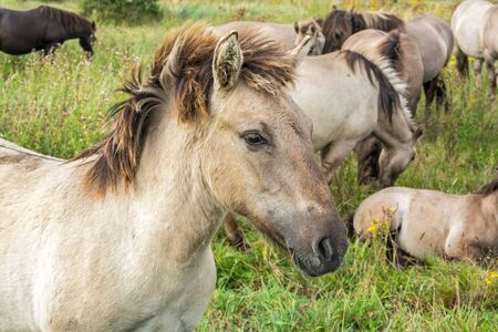 Beautiful wild horse (Konik) in front of his hearth