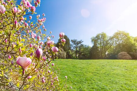 Tree with beautiful pink flowers on a green meadow on a sunny day in spring