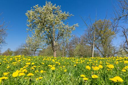 Idyllic flower meadow with yellow dandelions and trees in a park in spring