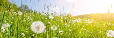 Banner image of idyllic flower meadow with blowball flowers and scenic sunbeams Stok Fotoğraf