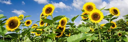 Banner image of sunflowers in front of blue sky with a few clouds Фото со стока