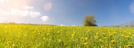 Banner image of dandelion flower meadow with lonely tree in the background with scenic lens flare Фото со стока