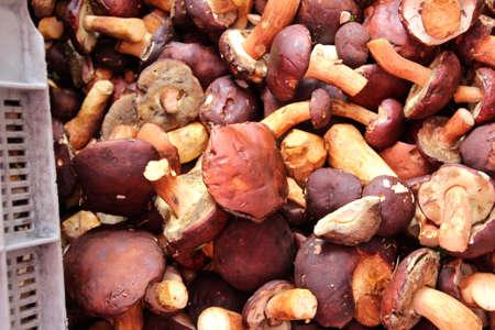 cep mushroom: eatable mushrooms boletus cep cepe eatable mushroom