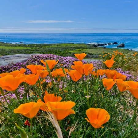 Beautiful orange flowers on the California coast. Pacific Ocean Background Stockfoto