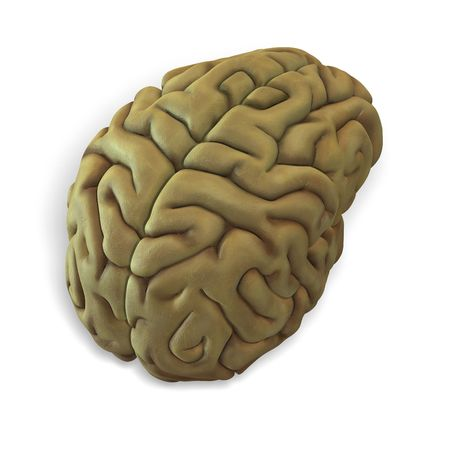 3d render of a human brain with clipping photo
