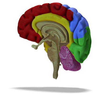 head wise: cut through a human brain with clipping