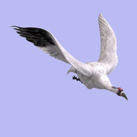 swoop: great white crane on blue back With Clipping