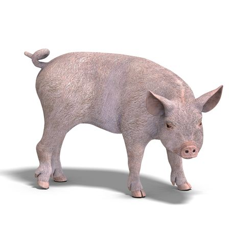 mammalia: rendering of a young pig with Clipping and shadow over white Stock Photo