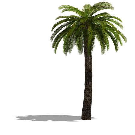 frond: 3D Render of a palm tree with shadow and clipping over white