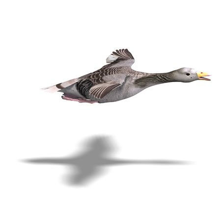levitation: grey goose in flight.  Stock Photo
