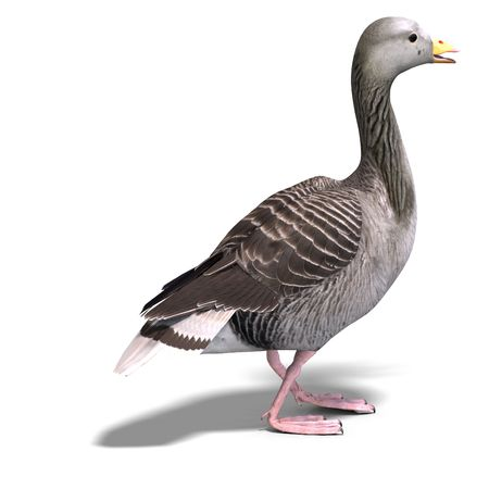 anatidae: 3D rendering of a grey goose with  shadow over white