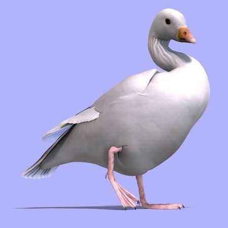 anatidae: 3D rendering of a snow goose