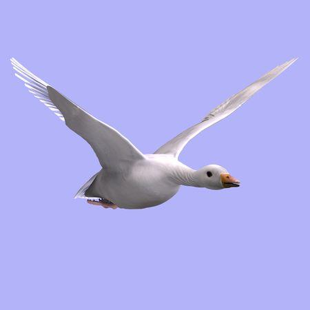 anatidae: 3D rendering of a flying snow goose