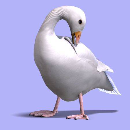 anatidae: 3D rendering of a snow goose with shadow over white Stock Photo