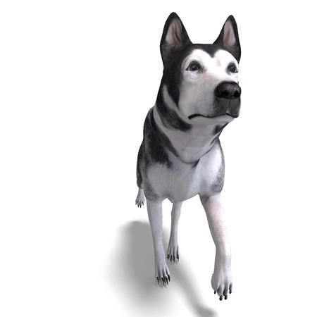 sniffing: Alaskan Malamute Dog.  Stock Photo