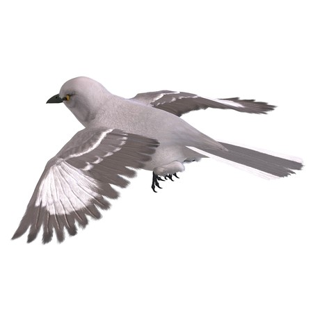 levitation: Northern Mockingbird. 3D rendering  Stock Photo