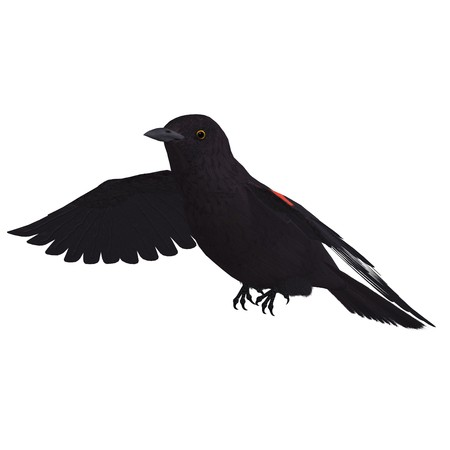 blackbird: Male Red-winged Blackbird. 3D rendering with  shadow over white