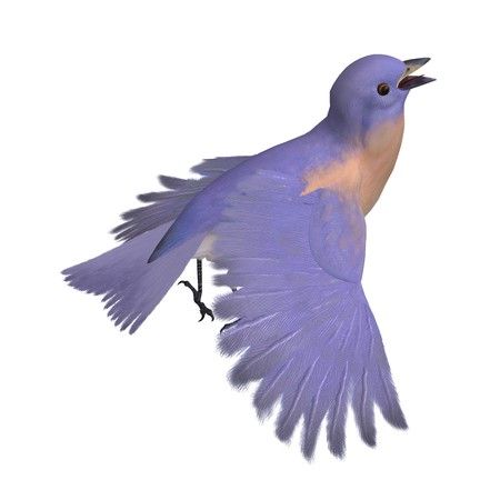 turdidae: Bird Female Western Bluebird. 3D rendering with clipping path and shadow over white