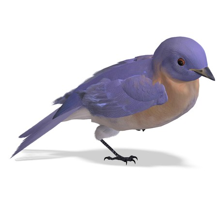 turdidae: Bird Female Western Bluebird. 3D rendering