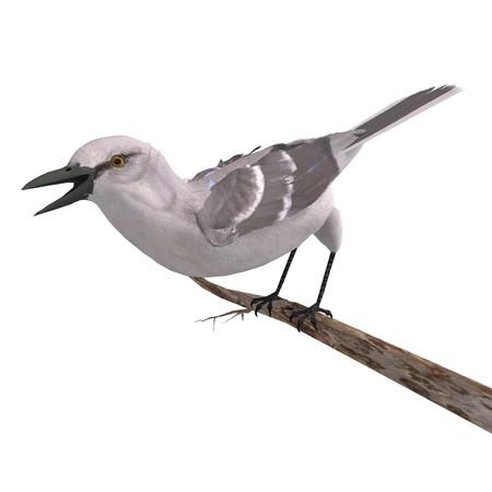 mockingbird: Northern Mockingbird.  Stock Photo