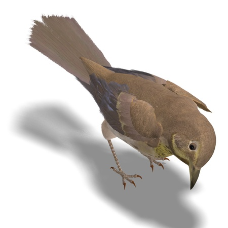 thrush: Bird Swainsons Thrush. 3D rendering with clipping path and shadow over white
