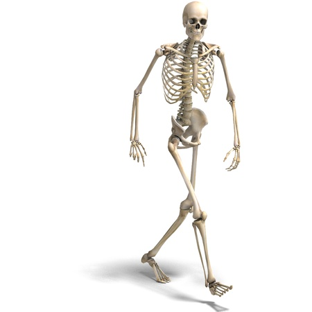 esqueleto: anat�mica correcta esqueleto masculino. Representaci�n 3D