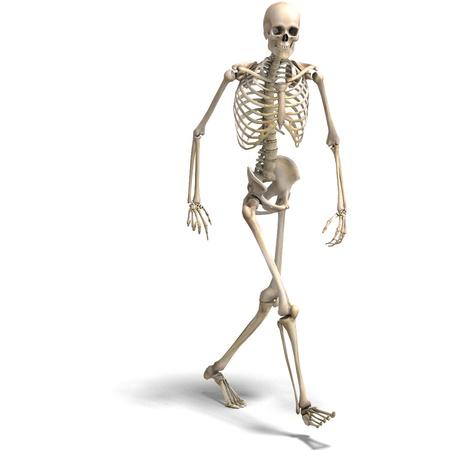 squelette: anatomique skeleton masculin correct. Rendu 3D