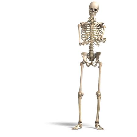 mental object: anat�mica correcta esqueleto masculino. Representaci�n 3D  Foto de archivo