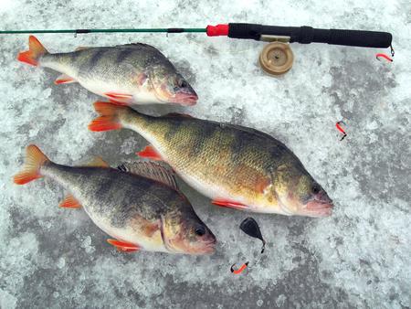 Winter fishing. Three perch lie on the ice. fishing pole fishing pole.