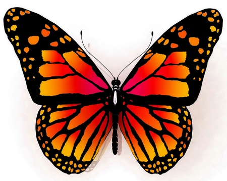 Isolated butterfly   of orange color on a white background photo