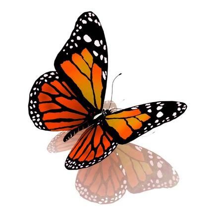 butterflies flying: Farfalla isolato di colore arancio su sfondo bianco