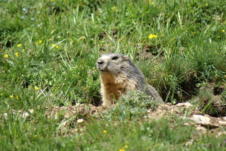 Muzzle of a groundhog popping up from a hole in the mountains