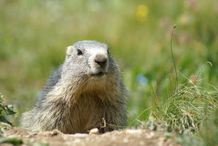A cute groundhog looking around in the mountains