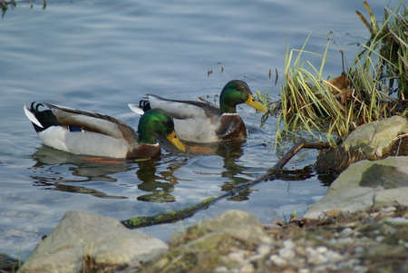 A couple of green head ducks are floating in a pond 版權商用圖片