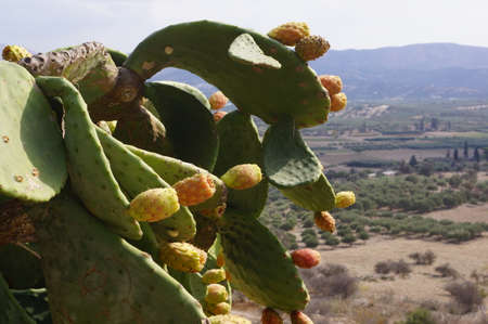 Close up of a prickly pear plant in Crete, Greece Banco de Imagens
