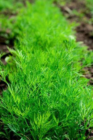 potherb: young dill on a farm Stock Photo