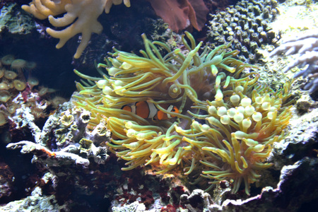 Coral reef, clownfish
