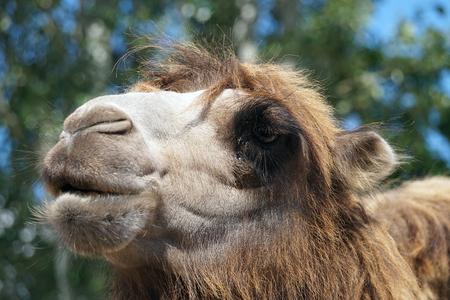 Camel face - portrait, close-up Foto de archivo