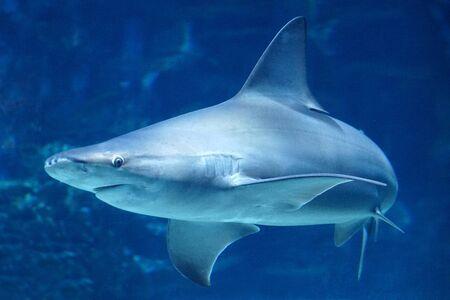Requin nageant sous l'eau