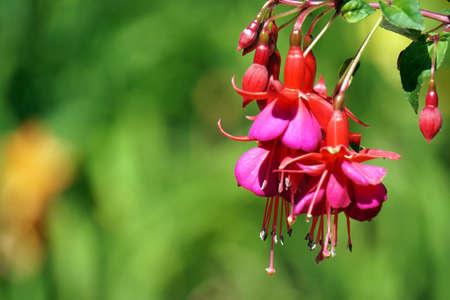 Pink fuchsia flowers in garden Foto de archivo - 152669035