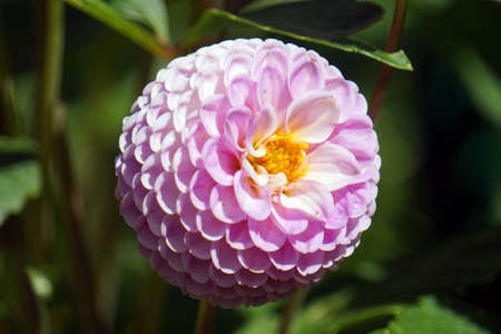 Violet perennial flower in garden