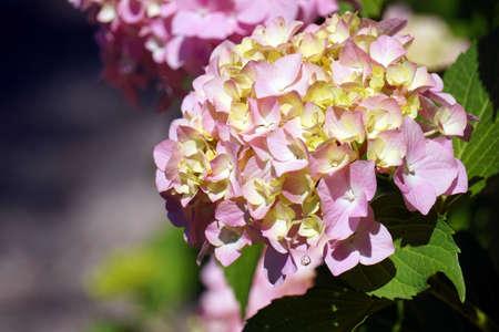 Pink hydrangea flowers in garden Foto de archivo - 152677265