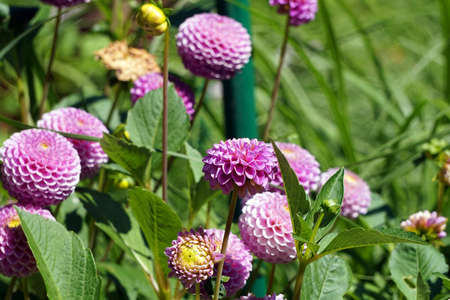 Violet flowers in garden