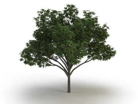 tree chestnut