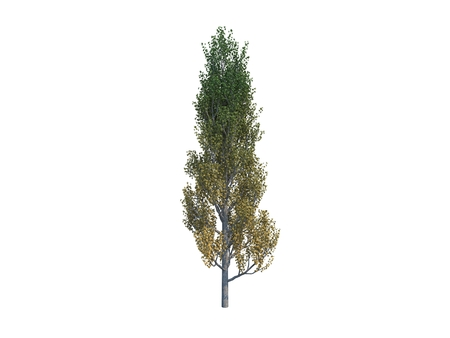 Nice tree poplar on white background