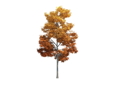 Nice tree maple on white background Stock Photo