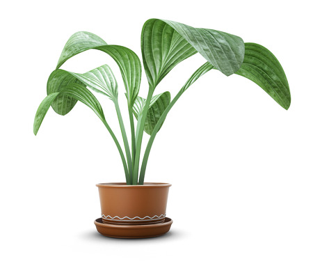 Room flower in a pot isolated on white background. 3d illustration.