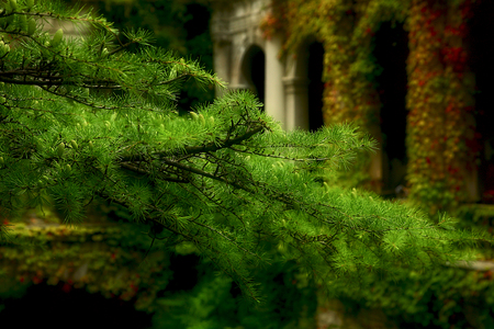 Larch branch against the background of antique architecture