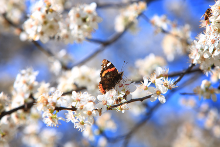 Butterfly on a branch of the blossoming apple-tree. Spring Standard-Bild