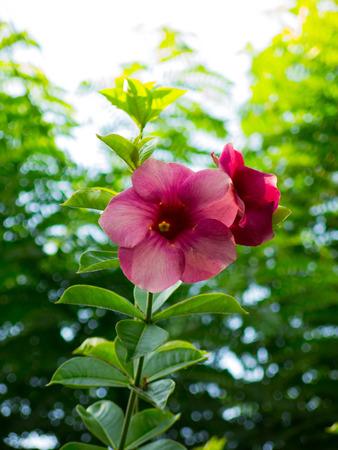 medium shot: Medium shot of Hibiscus,  the shoeflower or china rose, genus Hibiscus.Shallow depth of field, focus on the flower.